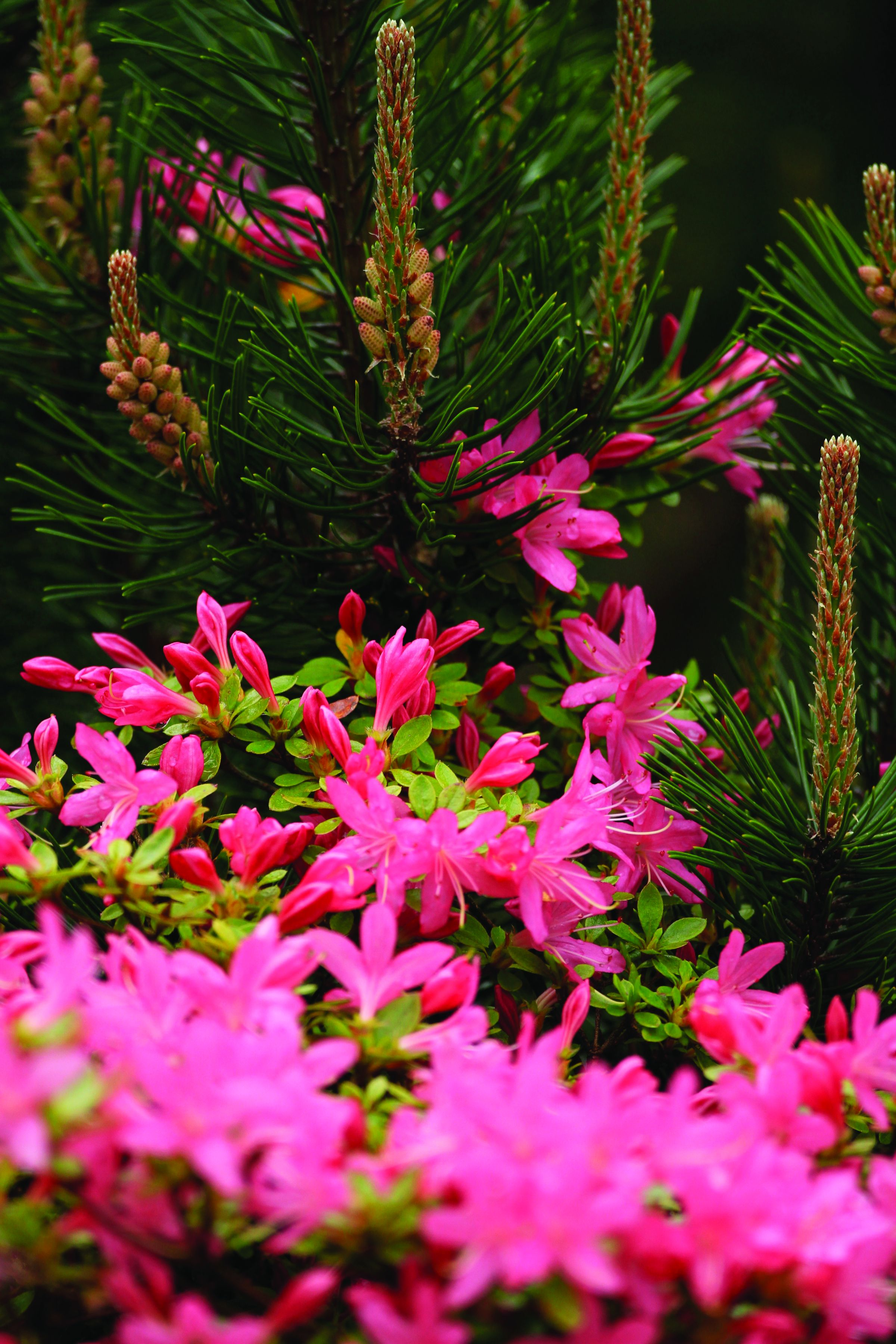 Spring Pink Bloom And Pine