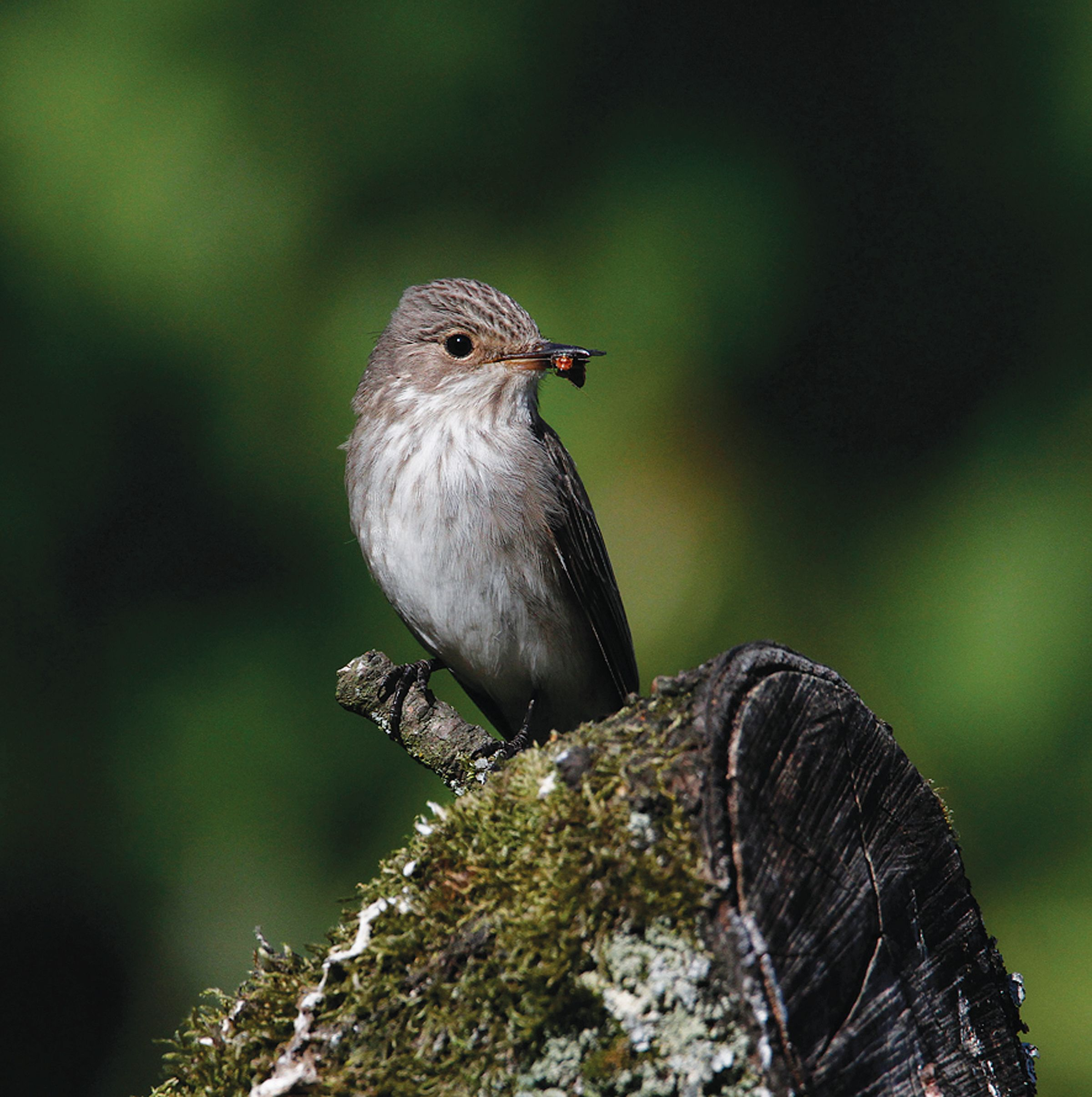 Tissington Flycatcher